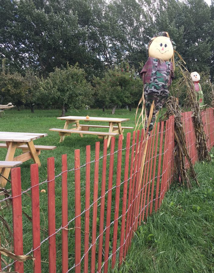 Scarecrows around the pumpkin patch